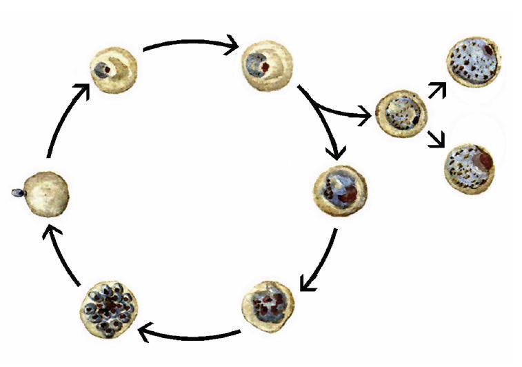 a malária plazmodium szaporodási ciklusa