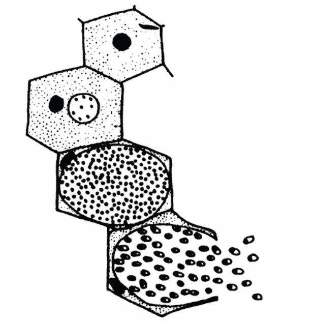 Malária plazmodium mikrogametocita - Malária plazmodium mikrogametocita - oraoazis.hu